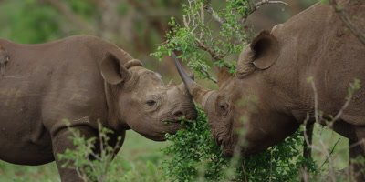 Black Rhino - mother and calf browsing on bush, mother walks toward camera, close shot