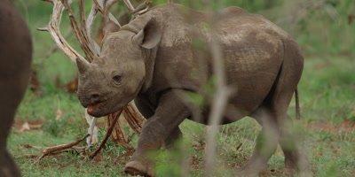 Black Rhino - calf walking with oxpecker on back, medium shot