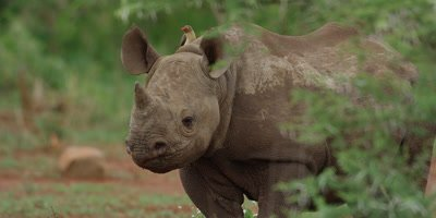 Black Rhino - calf walking after mother with oxpecker on back, close shot