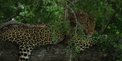 Leopard - lying on branch, turns toward camera, medium shot