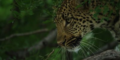 Leopard - moving behind foliage in tree, close shot
