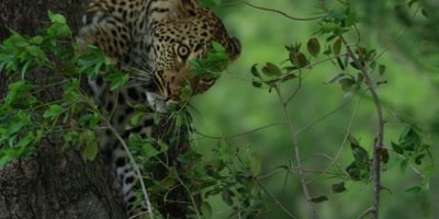 Leopard - descends from tree, falls part of the way