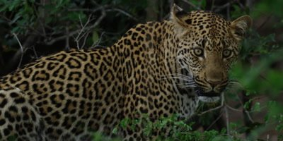 Leopard - sitting on ground, looking around, medium shot