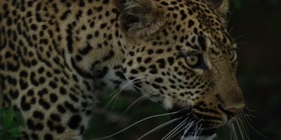 Leopard - emerging from behind bush, close shot