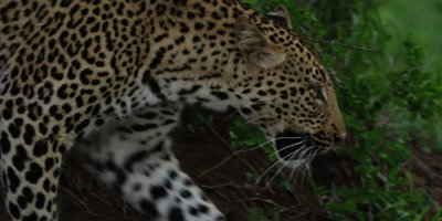 Leopard - emerges from behind bush, medium shot