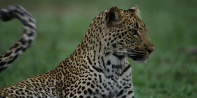 Leopard - licking himself, then looks up, alert, close shot