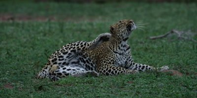 Leopard - lying on grass, scratches his head