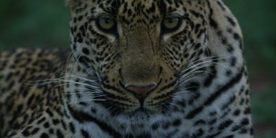 Leopard - looking at camera, close shot