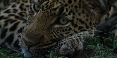 Leopard on Grass