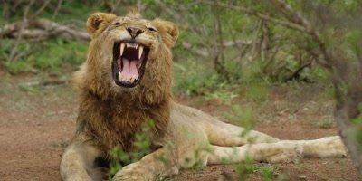 Lion - young male yawning, medium shot