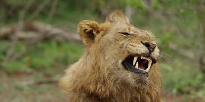 Lion - young male yawning, close shot