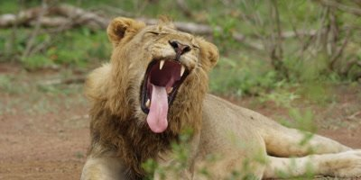 Lion - young male yawning, looking at camera, medium shot