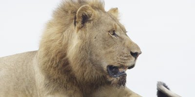 Lion - close up of head of male
