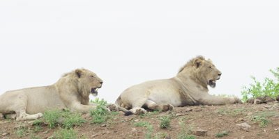 Lion - pan of four males lying on ridge, wide