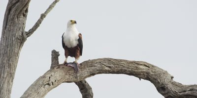 Fish Eagle with fish on branch