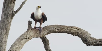 Fish Eagle with fish on branch, flies away