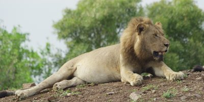 Lion - fat male lying on ridge, medium shot