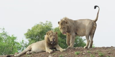 Lion - pair of males on ridge, wide shot