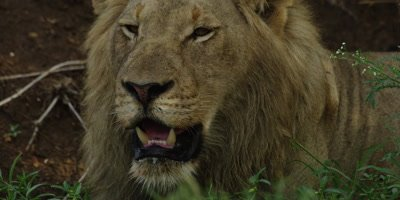 Lion - male lying down, close shot