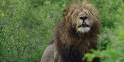 Lion - big male scratching himself, medium shot