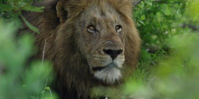 Lion - big male through the bush, close shot