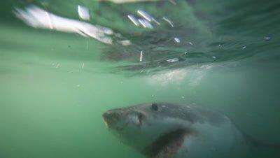 Great white shark underwater in green water
