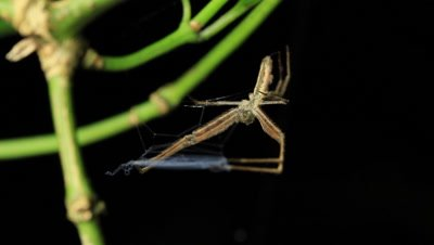 Deinopis subrufa (also called Rufous Net-casting ogre faced spider) is a species of net-casting spider