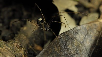 Opiliones are an order of arachnids commonly known as harvestmen