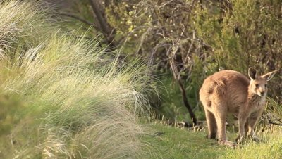 Kangaroo is one of Australia's most iconic animals, and most species are endemic to Australia.  This wallaby troop stock footage was recorded in the Kosciuszko region of the Australian snowies.