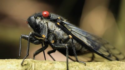 Redeye Cicada (Psaltoda moerens) is an Australian species of cicada. Cicadas are a superfamily, the Cicadoidea, of insects in the order Hemiptera. They are in the suborder Auchenorrhyncha