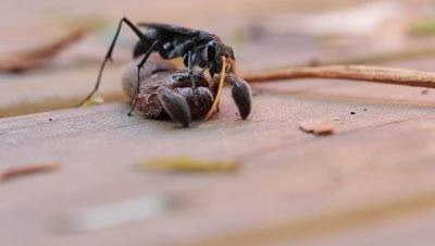 Spider wasp (family Pompilidae) bite off the legs of large hairy spiders such as Huntsman Spiders (Sparassidae), trimming them to make them easier to handle.  On finding a spider, the wasp stings and paralyses it, removes the legs if it is a large spider for easy transport then drags it back to it's burrow or finds a burrow  (cell) to lays her egg on the spider's body. The larva hatches and feeds on the body of the spider before pupating in a silky cocoon in the cell.