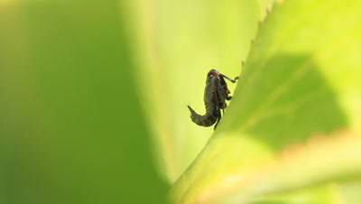 Treehopper, a member of the family Membracidae (typical treehoppers) or Aetalionidae