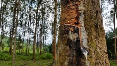 Rubber Tree Plantation and Raw Rubber collection
