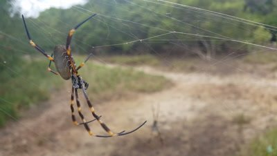 The orb spider or orb weaver spider is a common sight in Australia