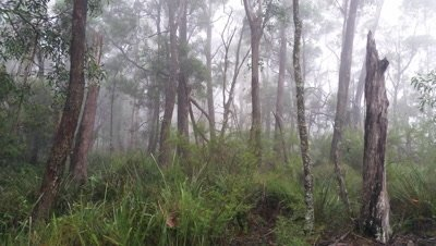 Fog rolling in eucalypt rainforest Australia landscape, misty mountain forest fog precipitation. Temperate rainforest NSW