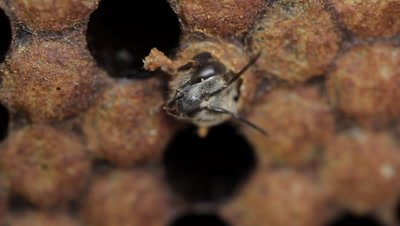 Pupa honey bee becomes an imago (adult) which soon begins to chew its way out of the cell. Bee larvae hatch from the eggs that are laid by the queen within the honeycombs of the bee hive. Once a larvae emerges from its egg, it is fed a nutritious substance called royal jelly.