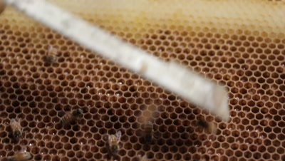 A honey bee or honeybee, in contrast with the stingless honey bee, is any member of the genus Apis and lives in a bee hive. The apiarist or beekeeper operates the beehives to produce honey and related products such as beeswax.