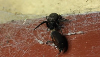 Spider catching beetle prey. The Black House Spider (Badumna insignis), House spiders do not have much venom and have to work hard to secure their prey, especially beetles. This footage shows the battle between the spider and the beetle prey.