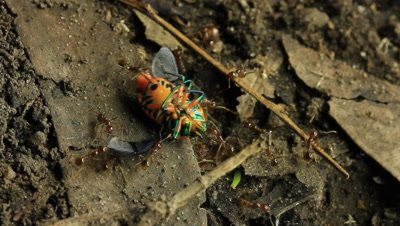 Jewel bug being taken back to the ants nest. Scutelleridae is a family of true bugs. They are commonly known as jewel bugs or metallic shield bugs due to their often brilliant coloration.