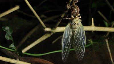 Cicada Enclosing stock footage - Cicadinae australasiae