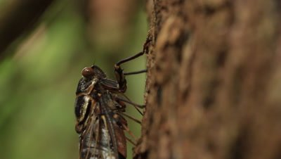 Cicadas feed by piercing the surface of plants with their mouth stylets. They then suck up the sap through a tube formed by the concave surfaces of two of the stylets  Cicada:  Razor Grinder (Henicopsaltria eydouxi)