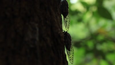 Cicada on tree. Thopha saccata, commonly known as the double drummer, is the largest Australian species of cicada and reputedly the loudest insect in the world