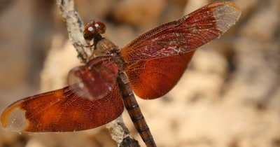 Red dragon fly insect nature wildlife from Cambodia temple complex