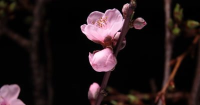 Flower bud stamen Time lapse of the botanical cherry blossom flower blooming