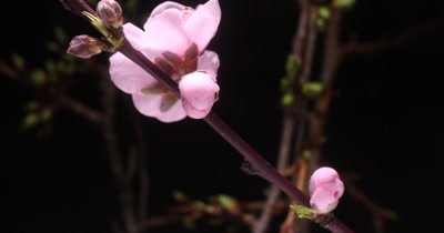 Time lapse of the botanical Sakura Japanese cherry blossom flower blooming on a tree branch during spring time