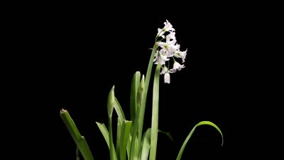 Springtime growth flower bulb timelapse of Snow drop flowers growing and blooming shot over 156 hours