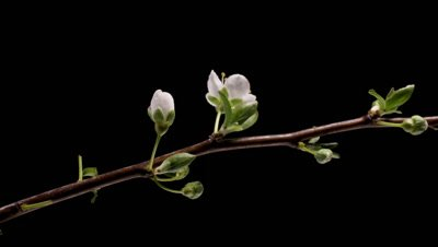 Cherry flowers blossom bud growing time-lapse along branch. Dolly shot over 18 hours
