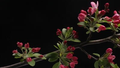Timelapse of red Crab-apple flower blossom blooming dolly shot over 24 hours