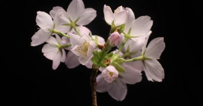 A bunch of Cherry flowers blossom bud growing time lapse on black shot over 15 hours