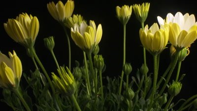 Yellow Flower time lapse blossom bud blooming White Lightning flowers (Osteospermum ecklonis).